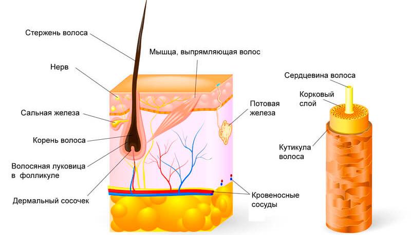 Для чего волосы на теле